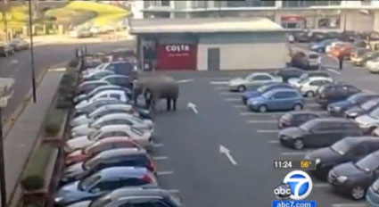 Elephant in car park