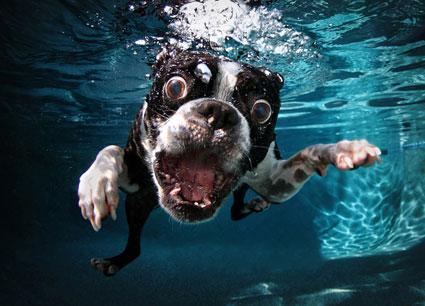 pug underwater