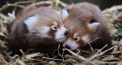 red pandas. babies. friends.
