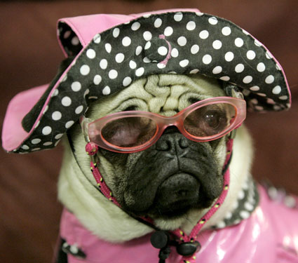 a pug dressed as an old lady
